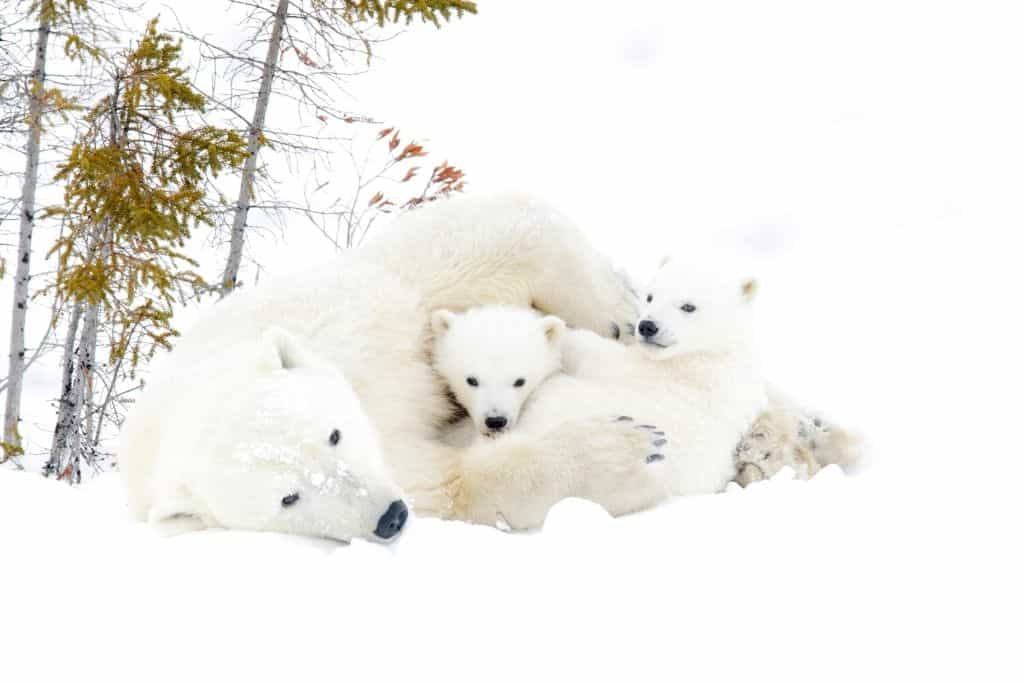 Polar bears playing in the snow.