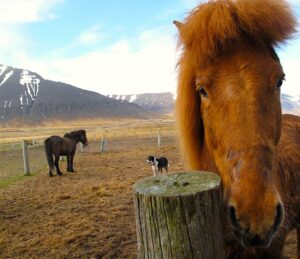Enjoy a fantastic horseback riding tour through the Westfjords of Iceland.