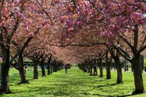 Some of the cherry blossom trees in full bloom at the Brooklyn Botanic Garden.