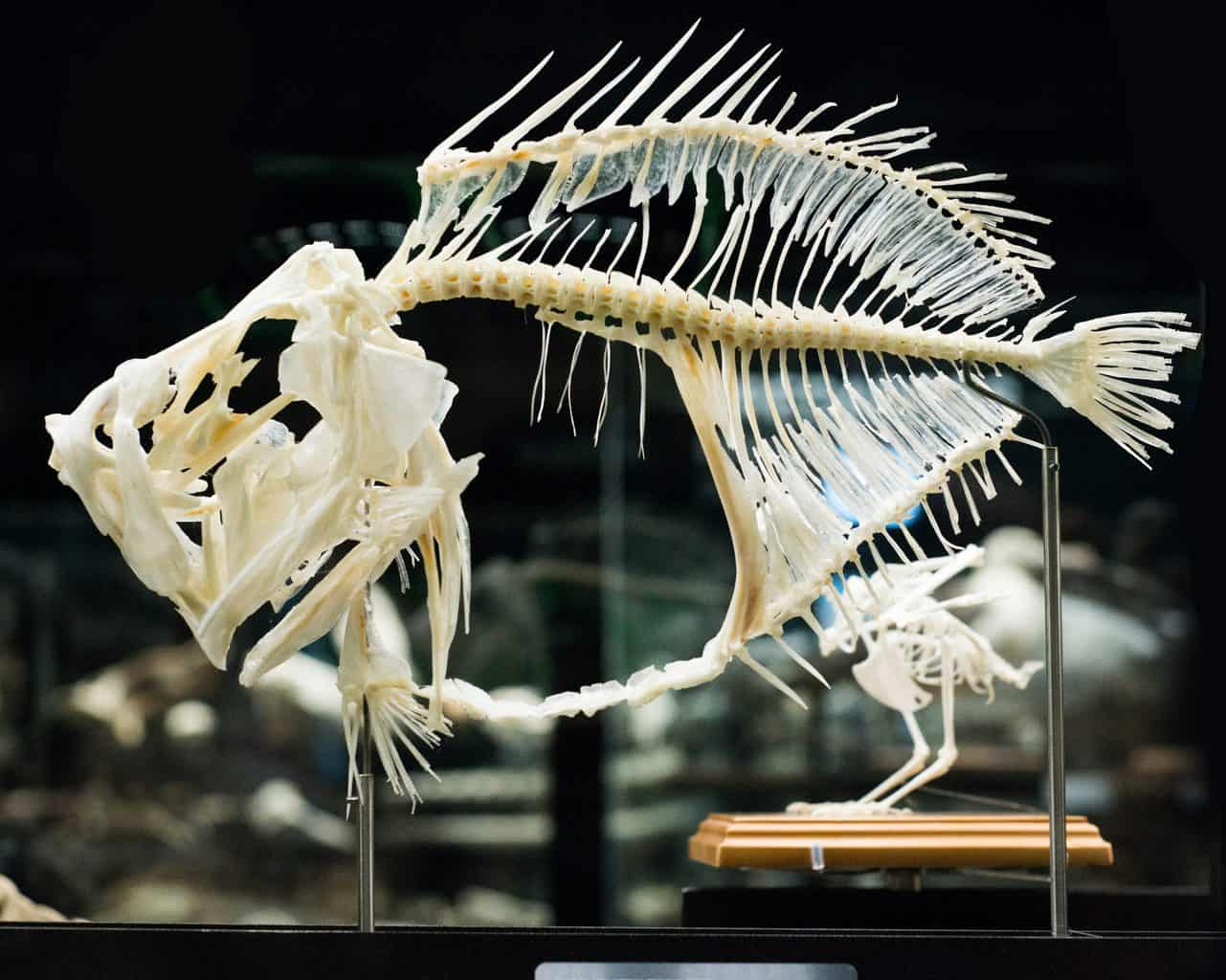One of the fish skeletons that you'll find on display at the Age of Fishes Museum in New South Wales, Australia.