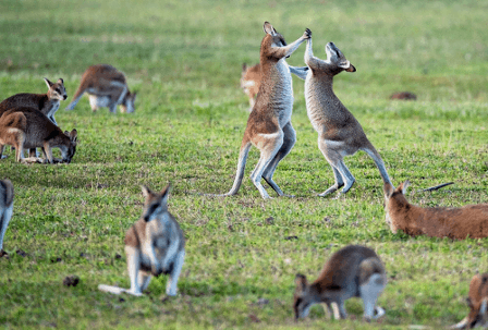 If you're traveling around Australia, be sure to stop at the Australia Zoo and visit some of the kangaroos there. Like the ones here which are seen fighting.