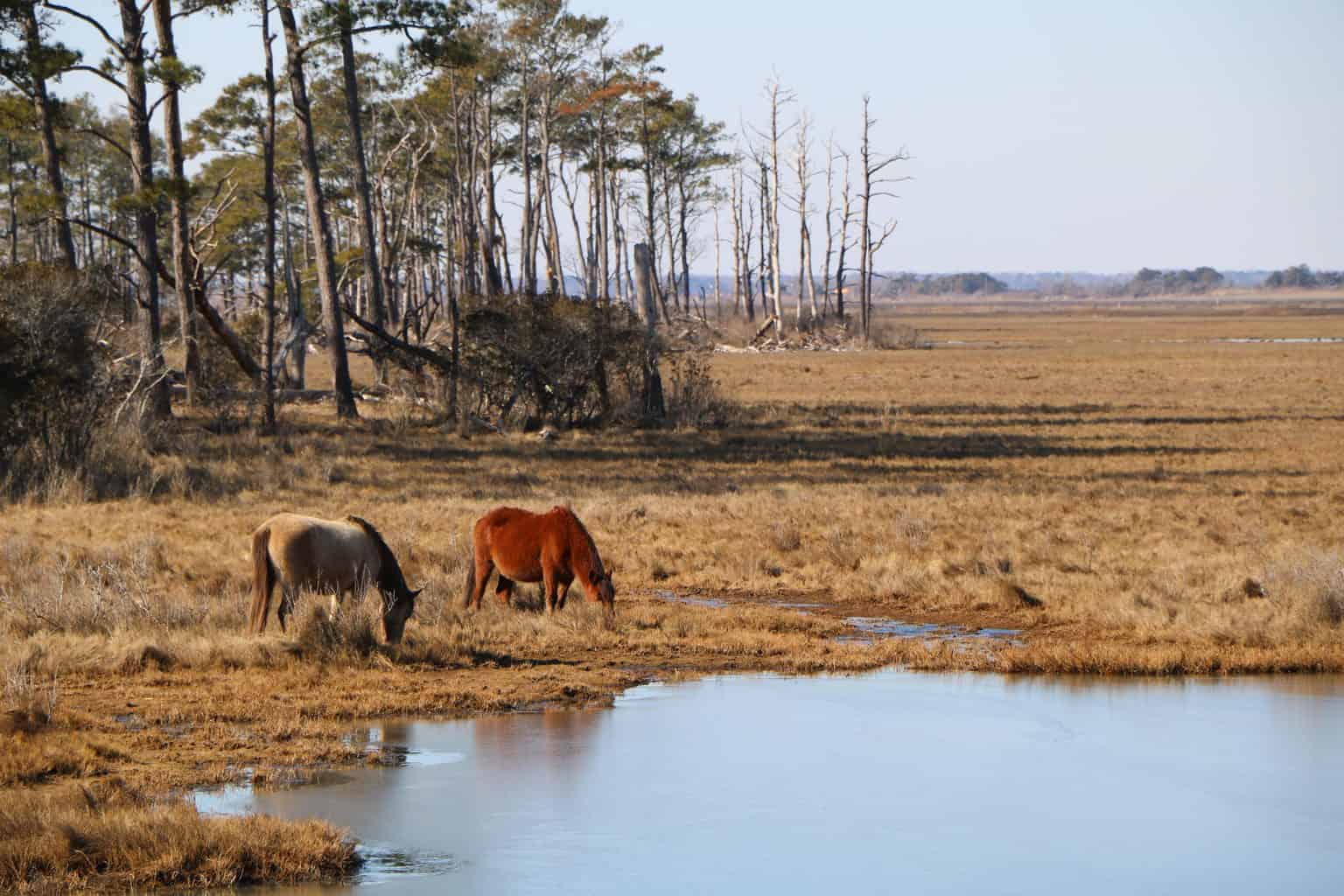 Wild horses eating grass and drinking water on Chincoteague Island in Virginia.