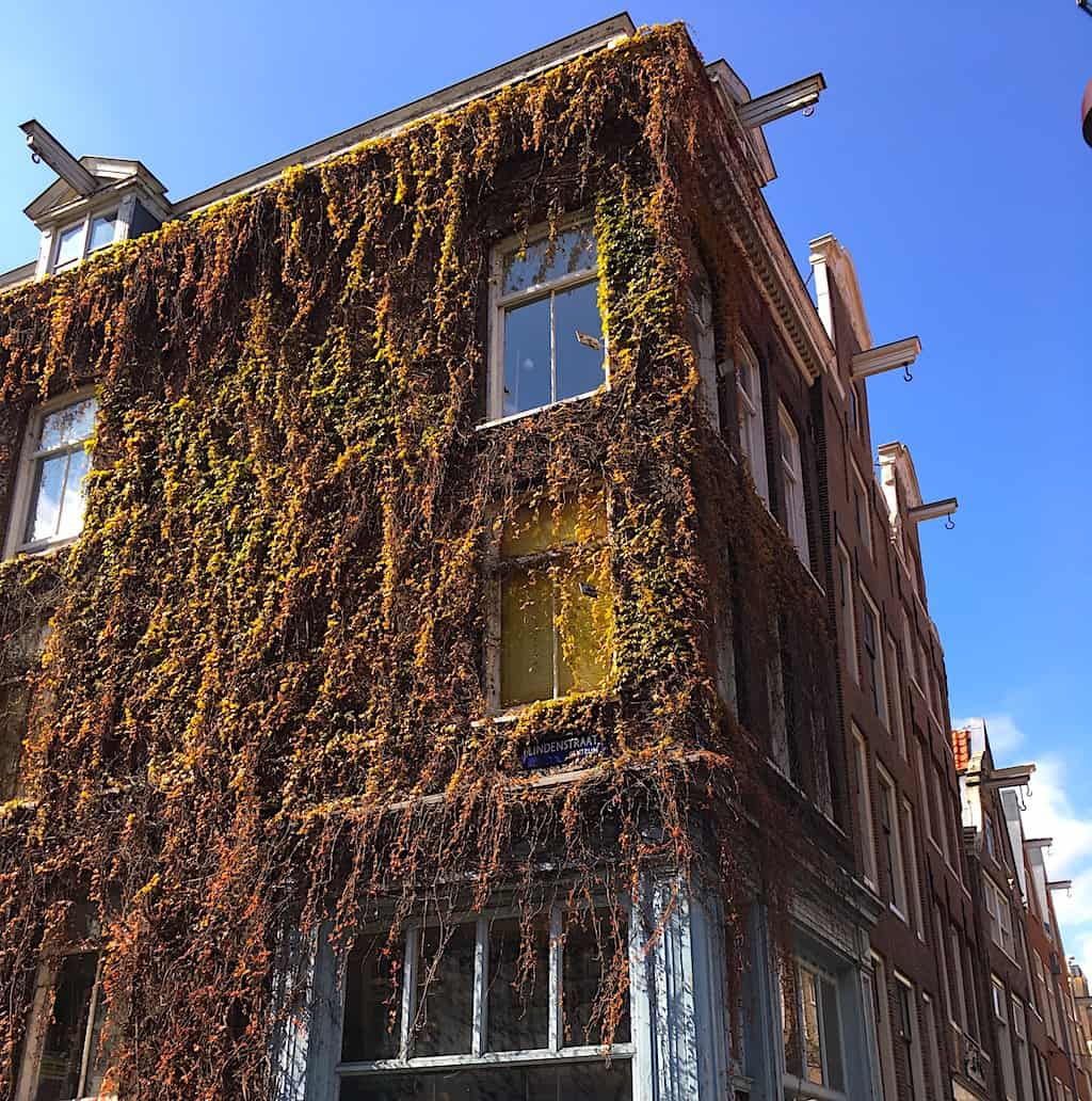 Some of the ivy encrusted homes along Lindenstraat in Amsterdam. Image sourced from Trammel Hudson on Flickr.