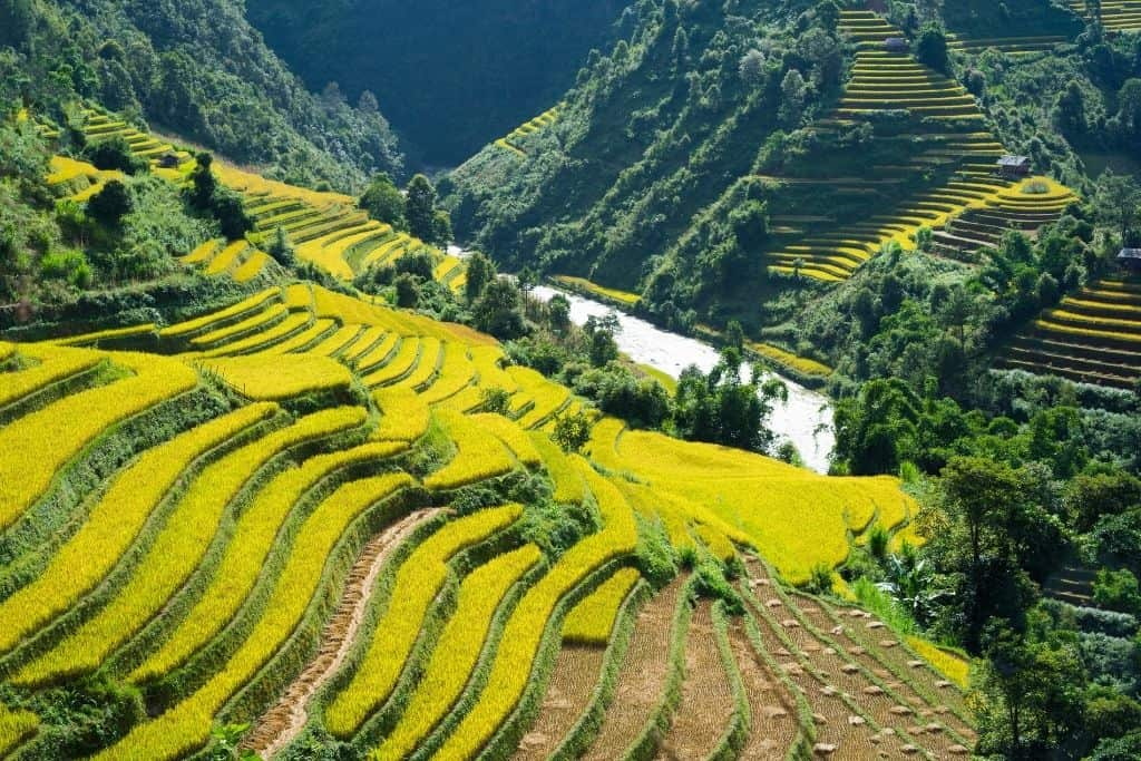 The green rice fields of Asia.