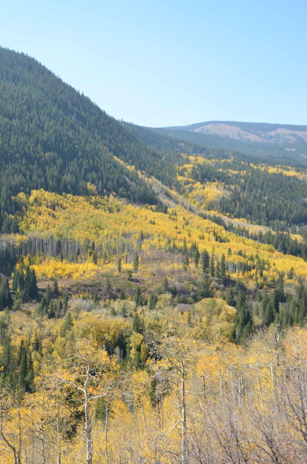 Fields full of yellow wild flowers in the mountains around Aspen.