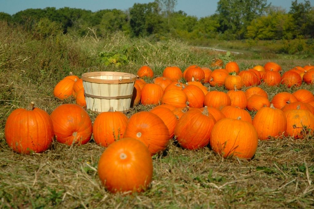 A field full of pumpkins with a wicker basket for pumpkin picking this fall in Vermont.
